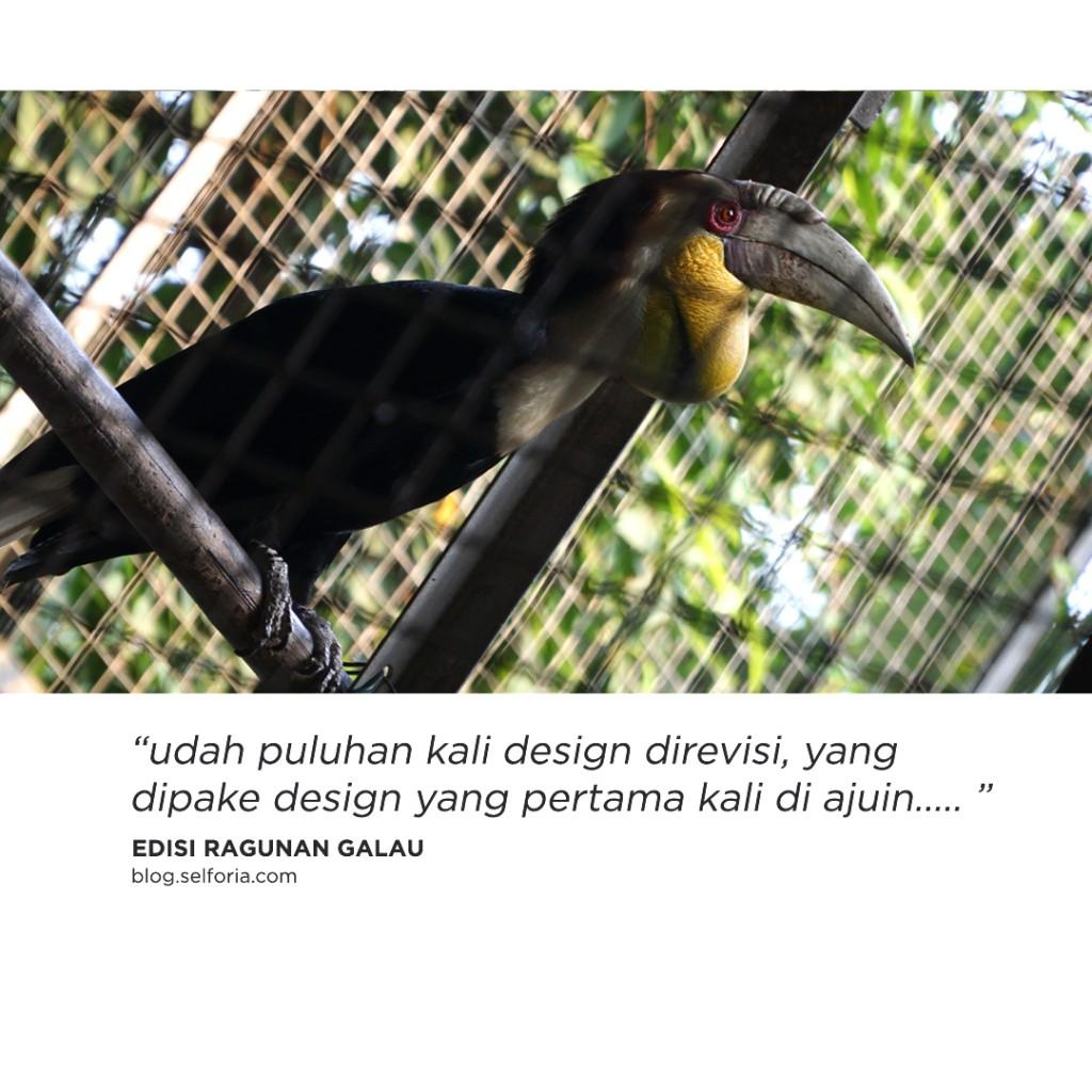 burung galau 2