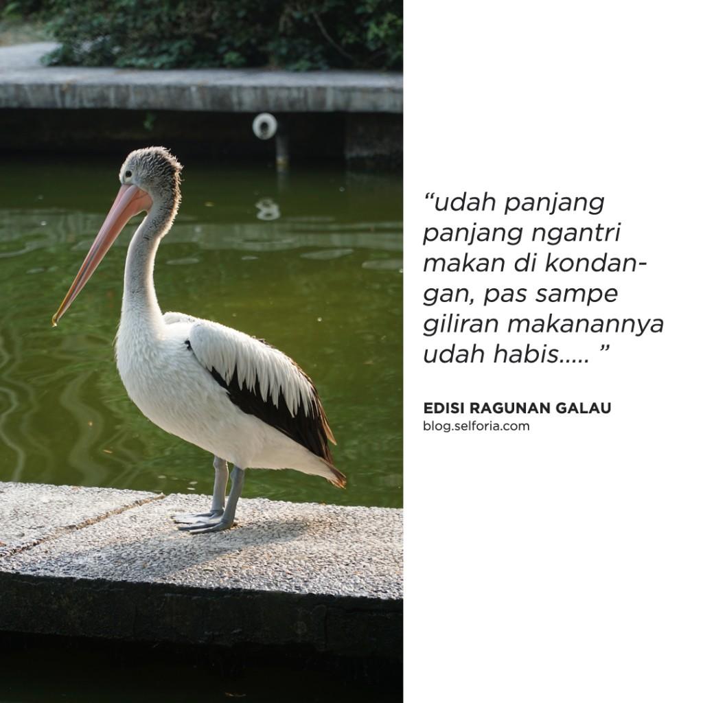 burung galau
